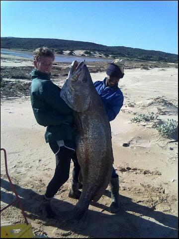 Another Monster Cob Mulloway Caught In South Africa