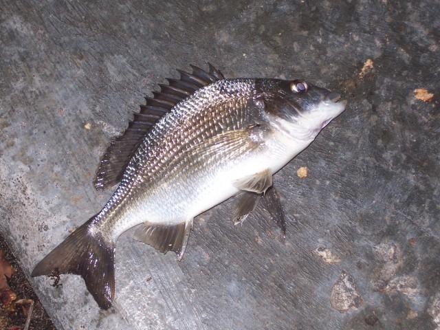 Swan nite fish