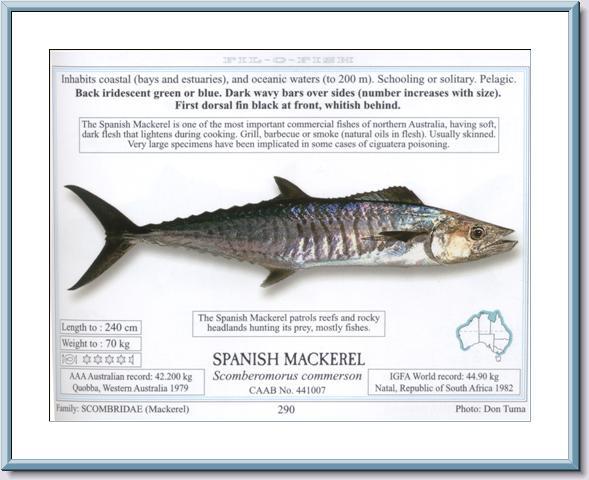 Spanish Mackerel Info
