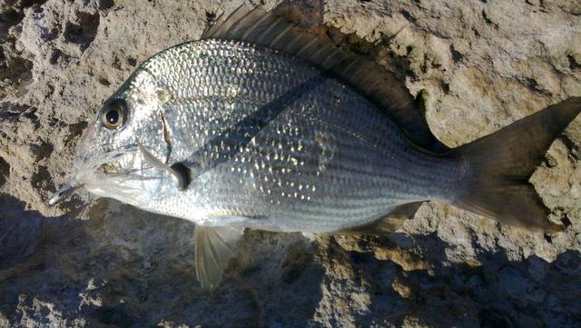 bucktail bream