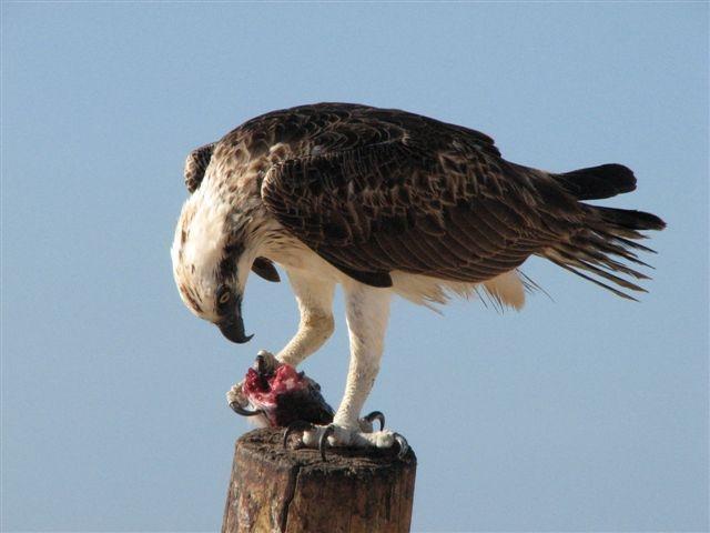 hungry sea eagle