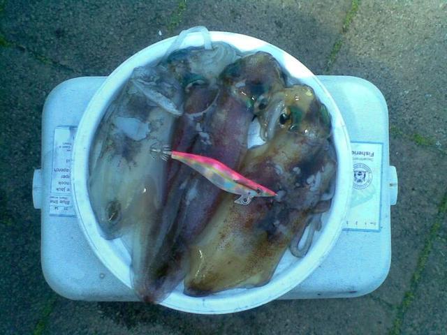 todays squid.