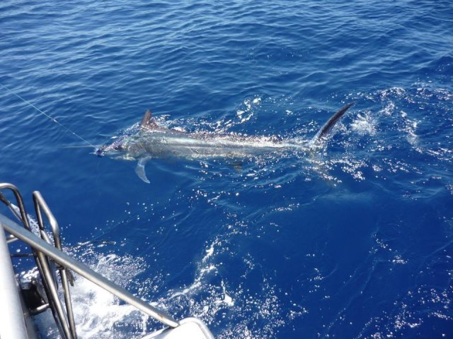One of the Blue Marlin tagged and released from the Mahi Mahi 111 during GAMEX 2013