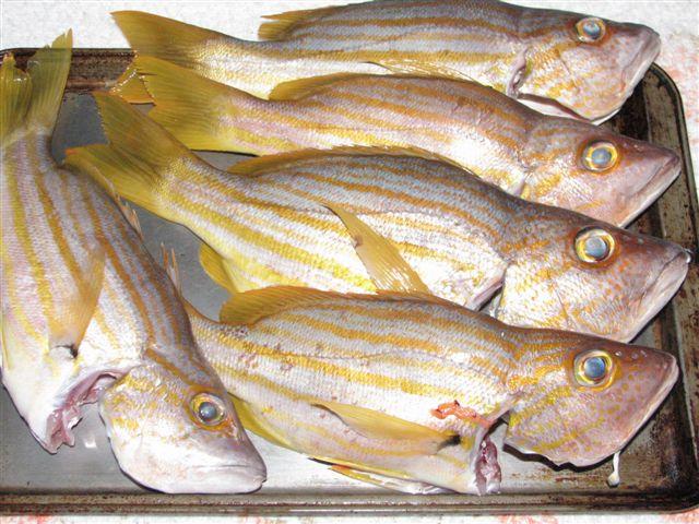 Sea perch fishing fishing wa for Sea perch fish