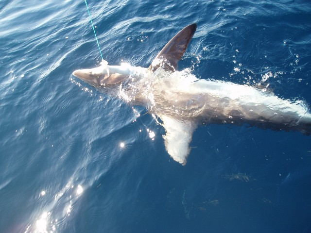 Jigging Shark # 6