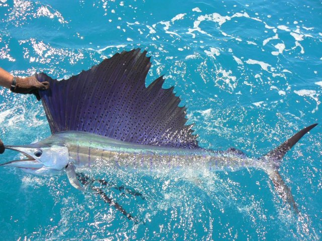 Lit-up Broome Sailfish