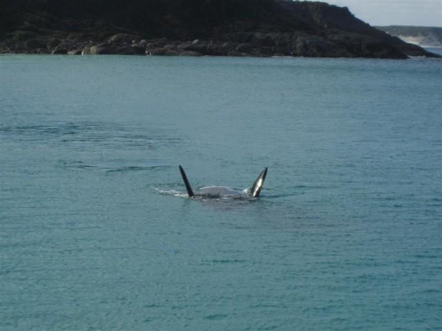 Bremer Whale2