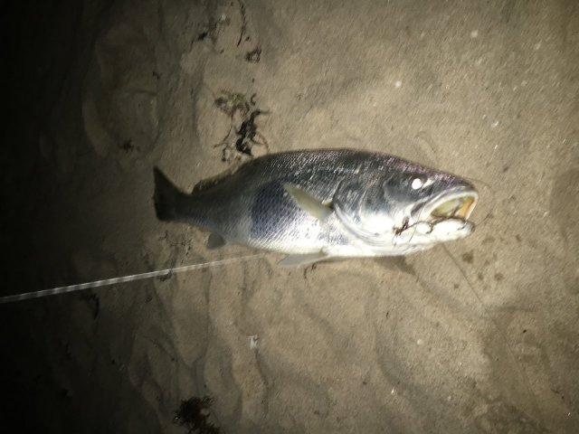 Mulloway at Falcon Beach