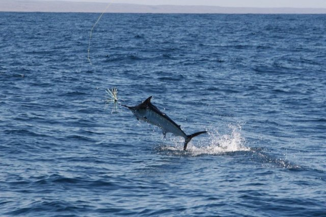 Exmouth marlin