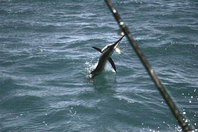 Sailfish Action Exmouth Gulf
