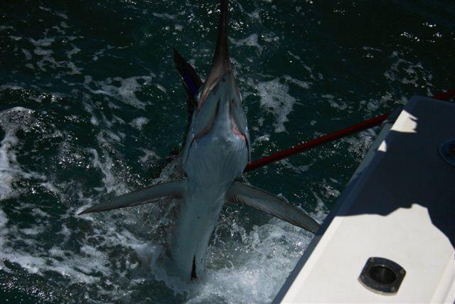 Sailfish Action Exmouth Gulf 1