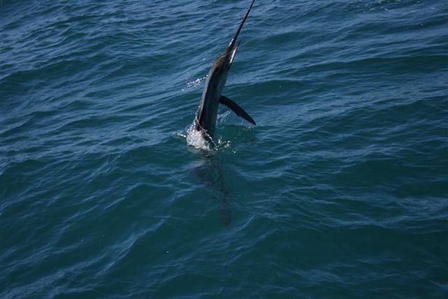 Sailfish Action Exmouth Gulf 3