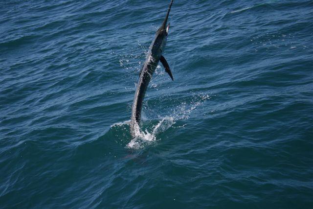 Sailfish Action Exmouth Gulf 4