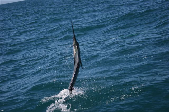 Sailfish Action Exmouth Gulf 5