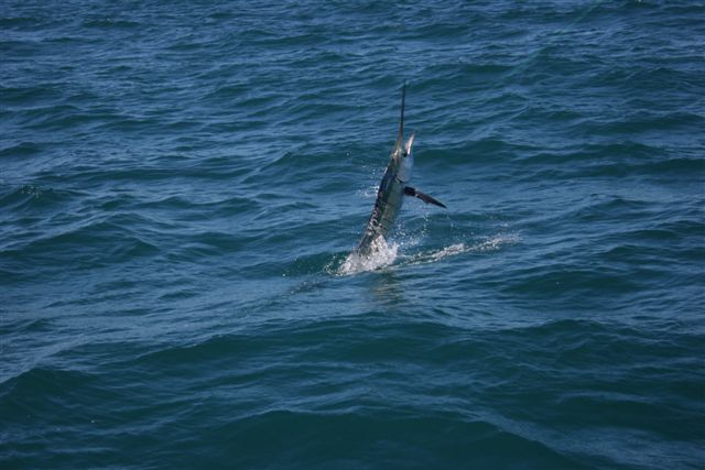 Sailfish Action Exmouth Gulf 6