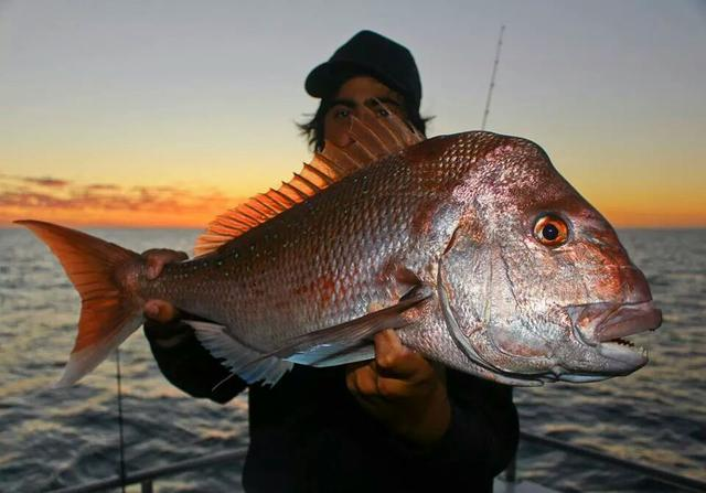 Abrolhos Snapper