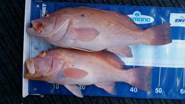 A couple of nice Breaksea Cods