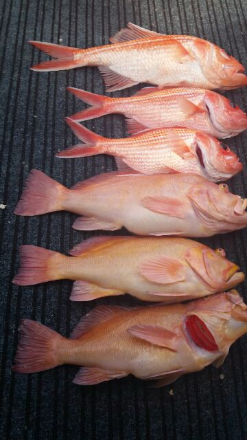 Take home catch of Breaksea Cods and Redfish