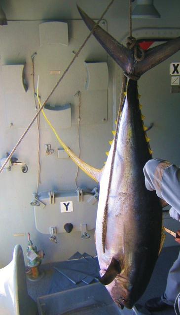 Big yellowfin
