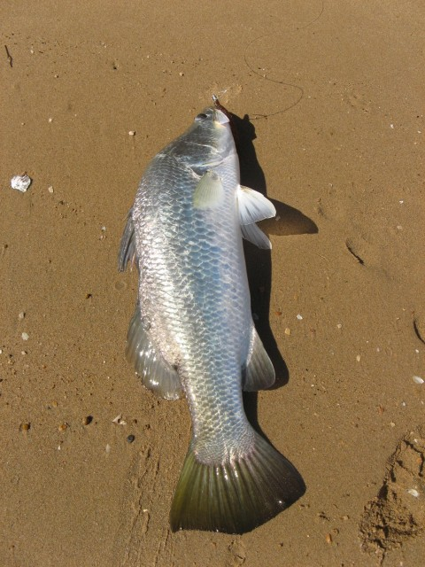 small barra on plastics