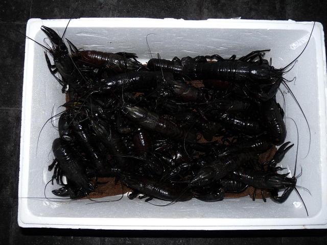 More black crabs