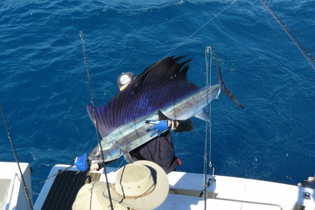 some sailfish action