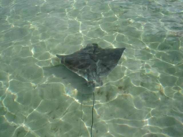 Walpole Eagle Ray