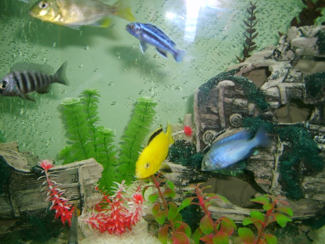 Some of my Cichlids