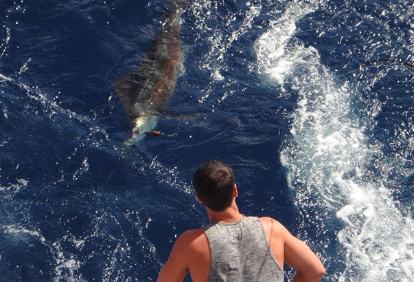 Sailfish on a stickbait