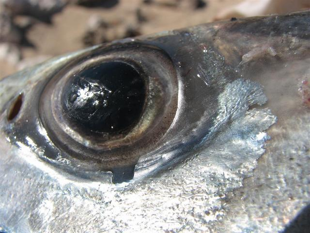 Close up of a Mackie Eye