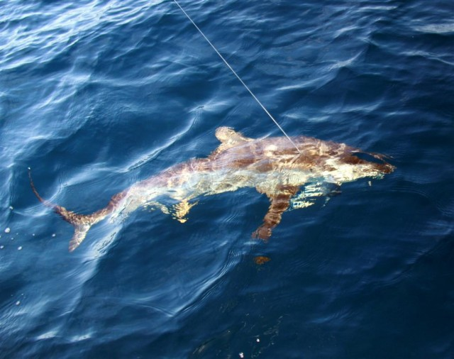 Jeffo's grey 'blue' marlin