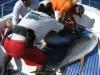 Tuna wrestling
