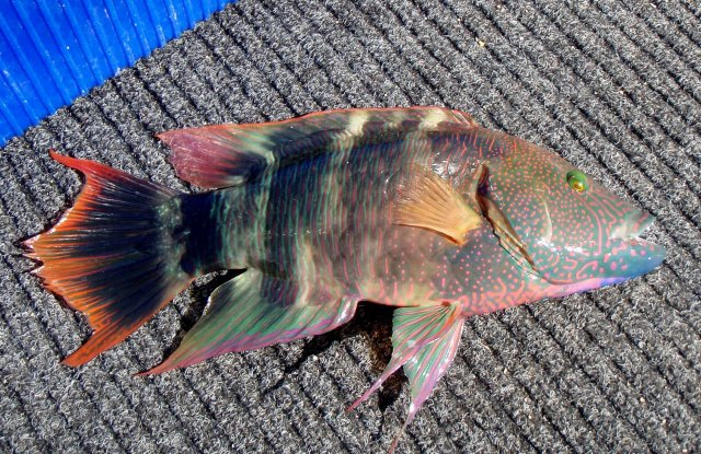 Tripletail wrasse from exmouth