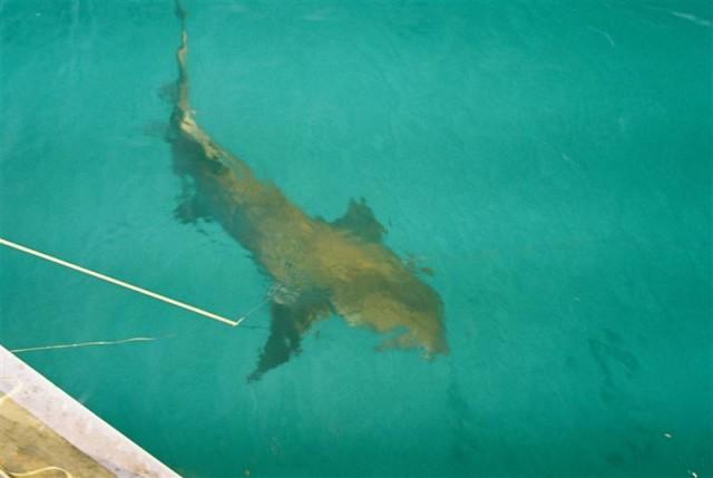 Exmouth Shark