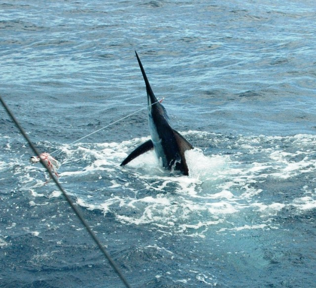Gabriel - Richter Lure Competition Entry - Exmouth Black Marlin