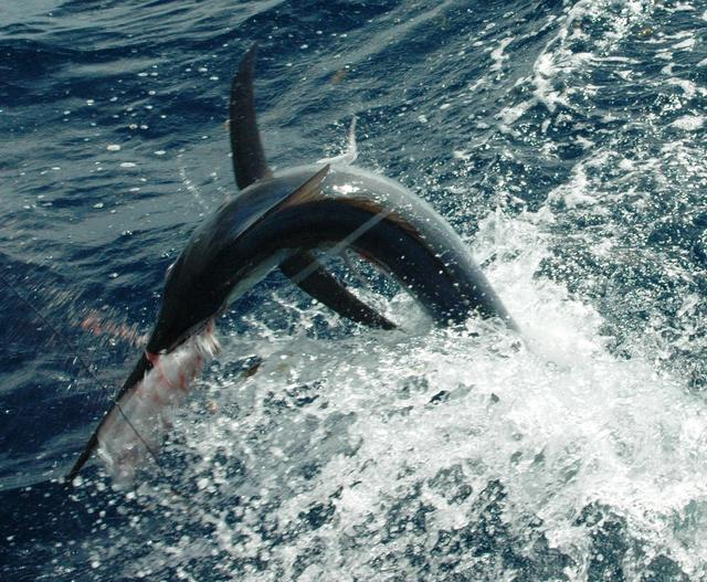 Gabriel - Richter Lure Competition Entry - Exmouth Black Marlin 1
