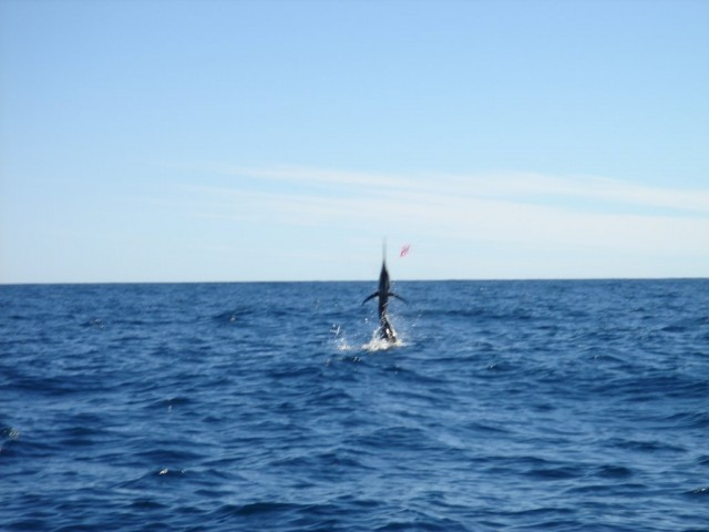 Sailfish Going Off