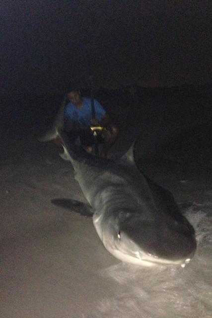 Big LB Tiger Shark