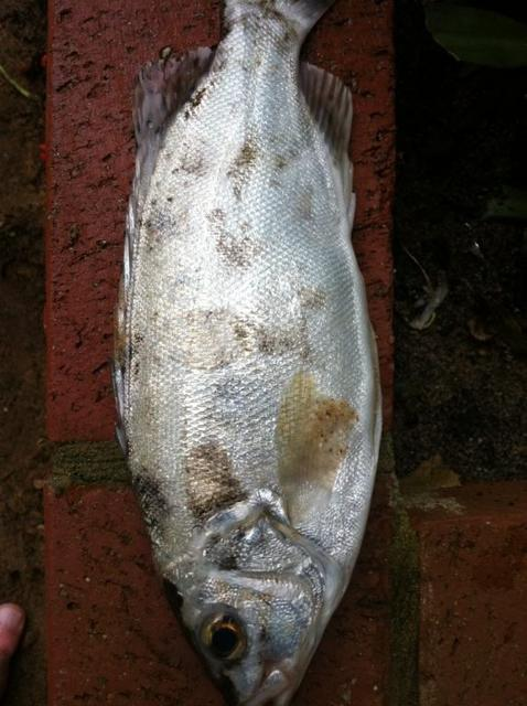 What fish is this