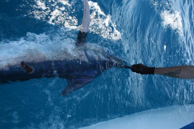 release marlin