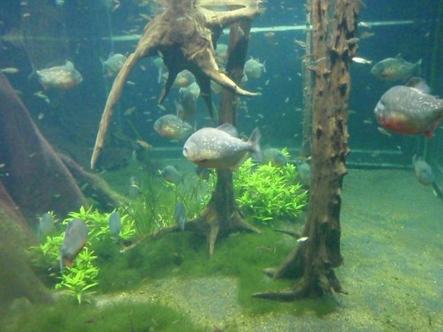 London aquarium fishing fishing wa for Piranha fish tank