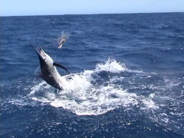 Exmouth Marlin landed during Gamex