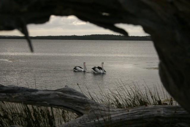 Big Pelicans