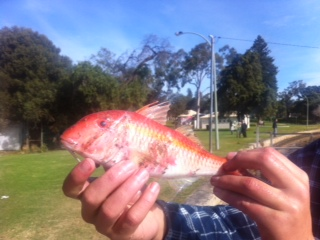 Goatfish in the swan??