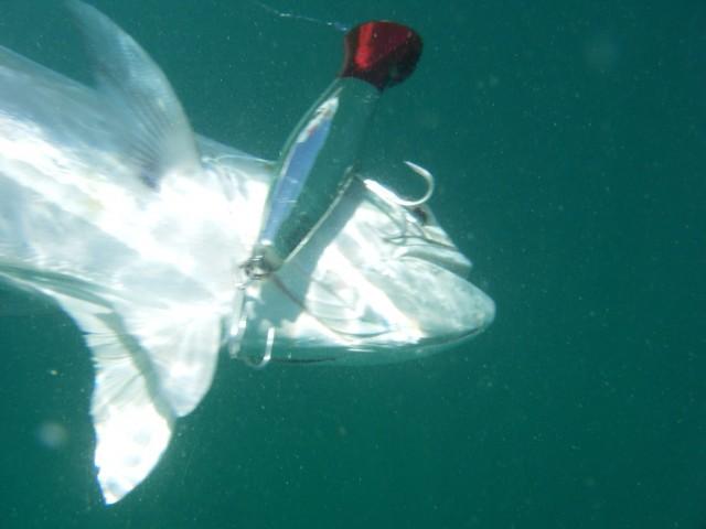 Kasey's Queenfish