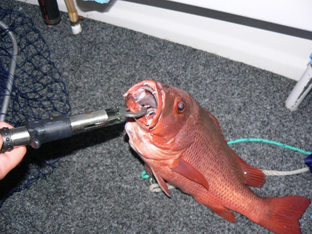 Mangrove Jack