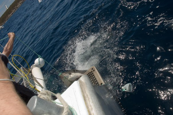 great white eating marlin board