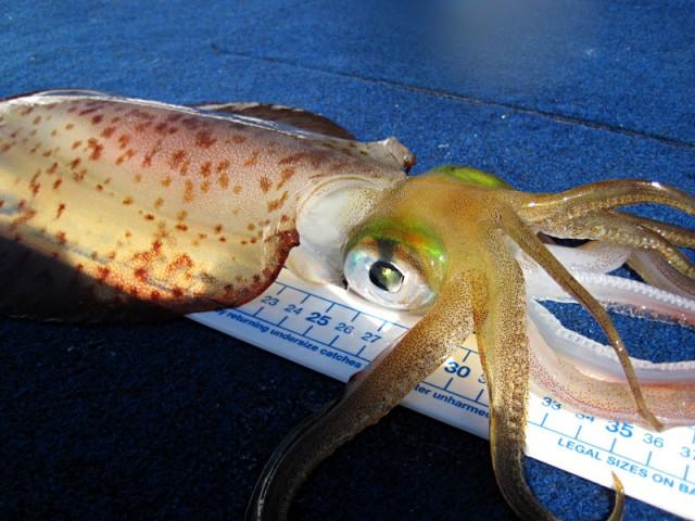 Decent sized squid