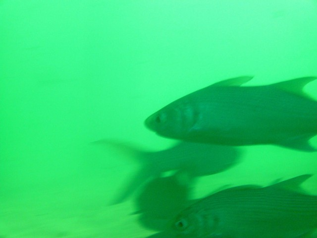 Bundegi Boat ramp salmon