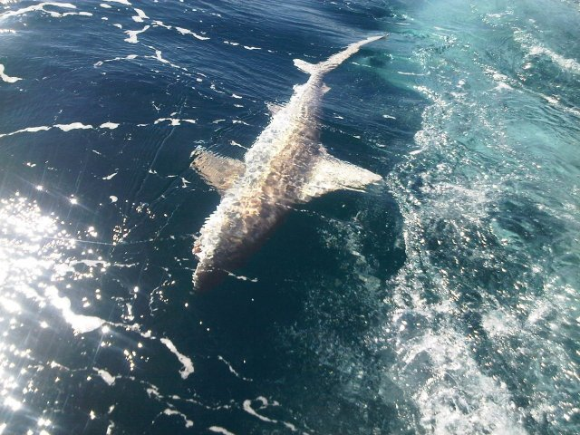 whaler shark off mindarie